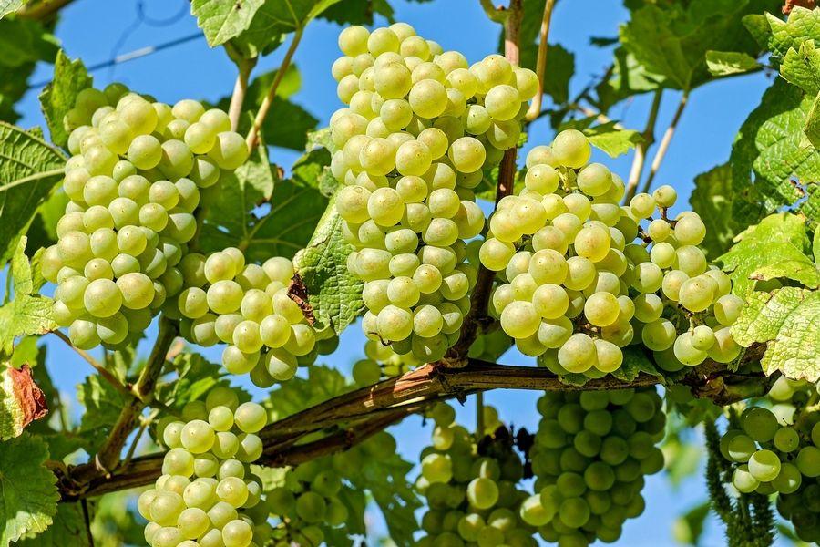 Как выбирать саженцы винограда