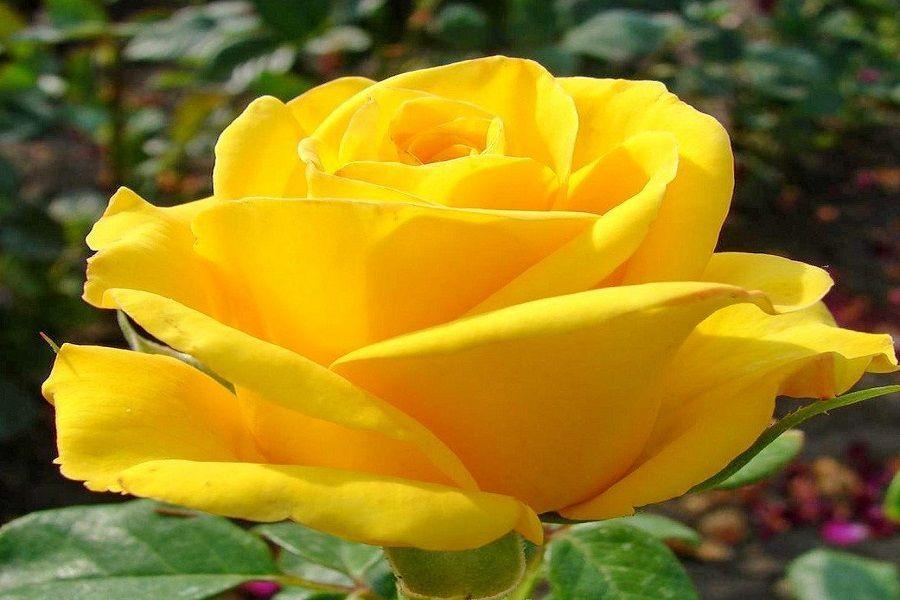 Роза Керио – описание сорта и уход